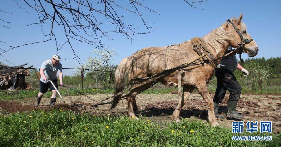 地处中东欧的白俄罗斯春天来得较晚。到5月中旬,全国大田里的春播工作才全面结束。而在农民自家的宅旁园地里,播种工作仍在进行中。大多数人仍然采用马拉犁铧的原始生产方式,也有些人用上了简陋的电动犁铧。(明斯克分社首席记者张志强)