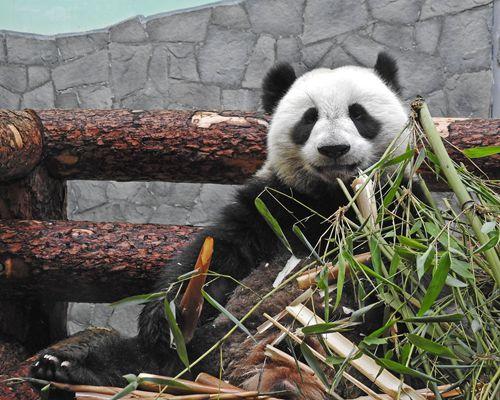 莫斯科动物园计划为中国大熊猫建雪堡